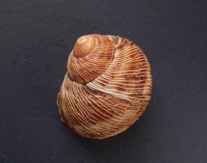 Erctella cephalaeditana  (Giannuzzi-Savelli, Sparacio et Oliva, 1986)  Kalamaki (Messinias) Grèce 2087_e10