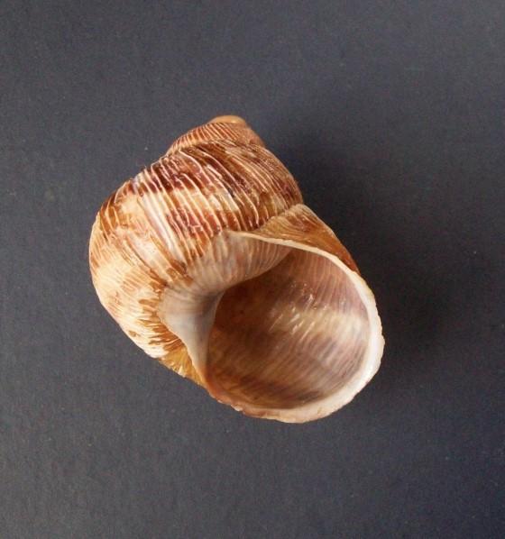Erctella cephalaeditana  (Giannuzzi-Savelli, Sparacio et Oliva, 1986)  Kalamaki (Messinias) Grèce 2087_e11