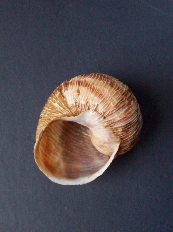 Erctella cephalaeditana  (Giannuzzi-Savelli, Sparacio et Oliva, 1986)  Kalamaki (Messinias) Grèce 2087_e12