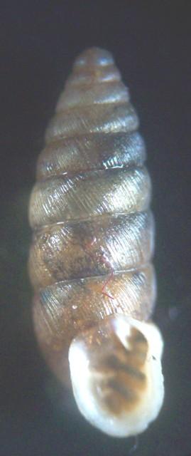 Abida secale affinis (Rossmässler, 1839) - Live 2147_a10
