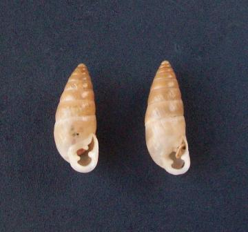 Chondrula munita (Westerlund,1894) 2204_m11