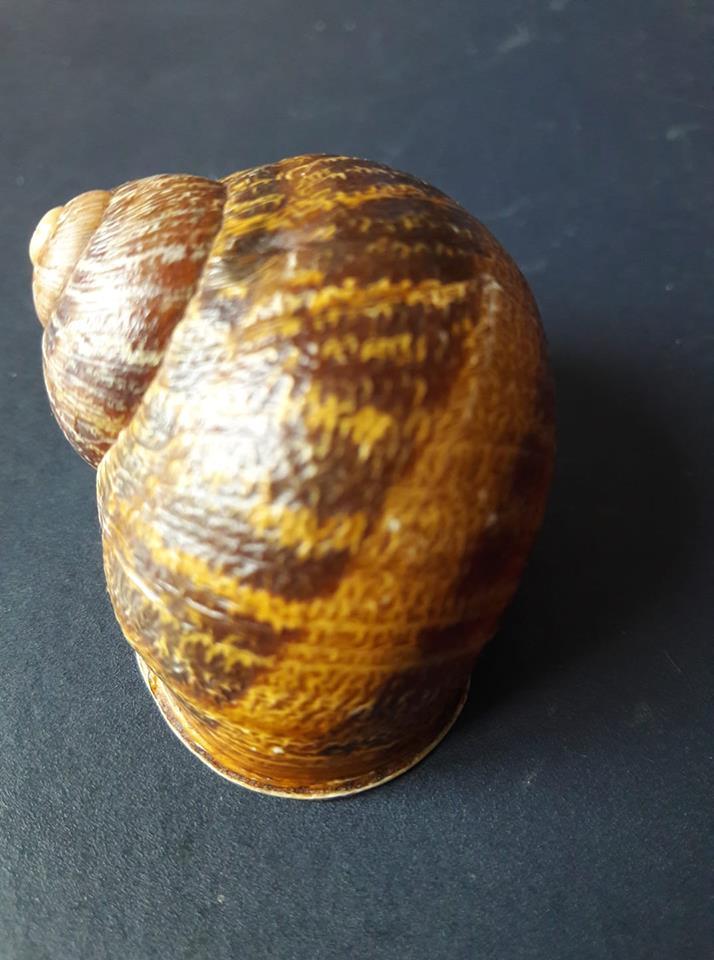 Helix aspersa de Grèce (Peloponnèse)  41652910