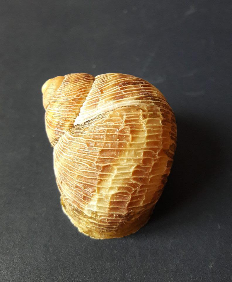 Erctella cephalaeditana  (Giannuzzi-Savelli, Sparacio et Oliva, 1986)  Kalamaki (Messinias) Grèce 41658810