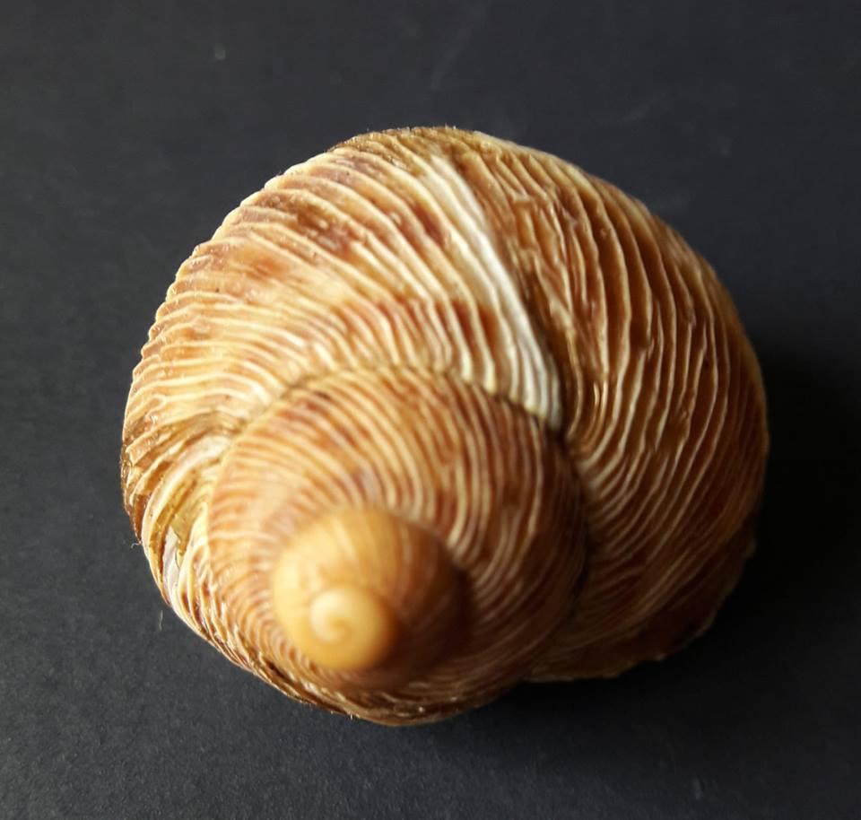 Erctella cephalaeditana  (Giannuzzi-Savelli, Sparacio et Oliva, 1986)  Kalamaki (Messinias) Grèce 41691110