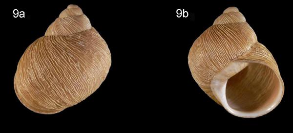Erctella cephalaeditana  (Giannuzzi-Savelli, Sparacio et Oliva, 1986)  Kalamaki (Messinias) Grèce Erctel12