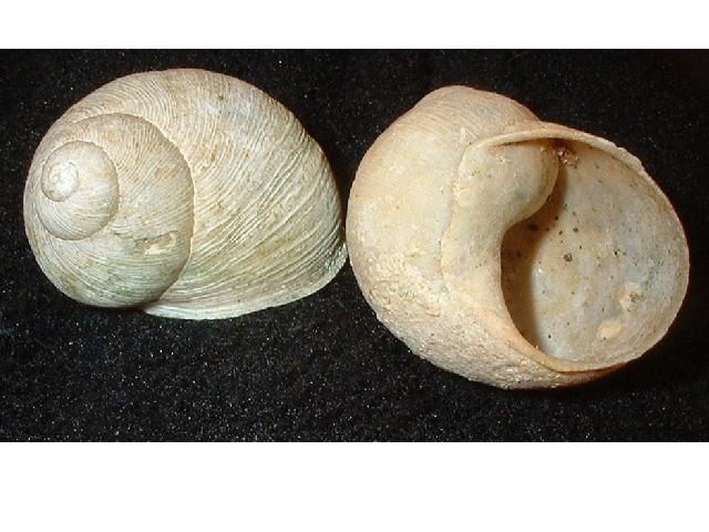Erctella cephalaeditana  (Giannuzzi-Savelli, Sparacio et Oliva, 1986)  Kalamaki (Messinias) Grèce Erctel13