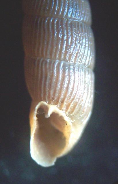 Macrogastra attenuata lineolata (Held, 1836) M_atte12