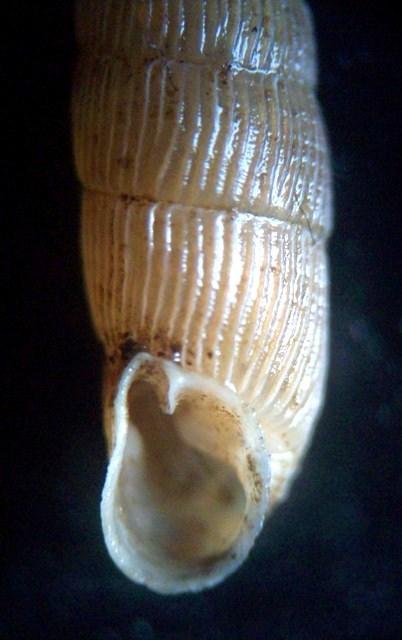 Macrogastra plicatula (Draparnaud, 1801)  M_plic11