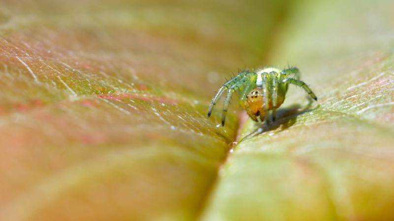 Petite araignée dans le cerisier P1080410