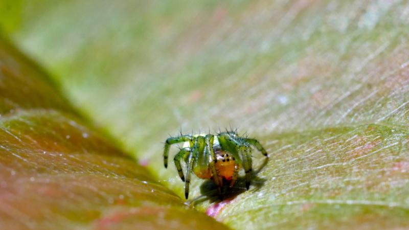 Petite araignée dans le cerisier P1080411
