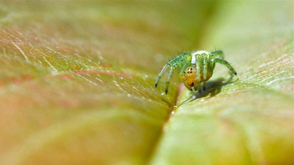 Petite araignée dans le cerisier P1080412