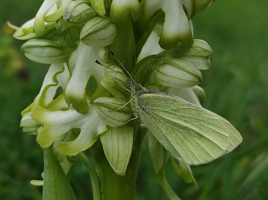 Barlia hypochrome et son papillon Img_2103