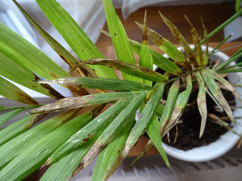 Trois plantes malades (la même? ) Plante14