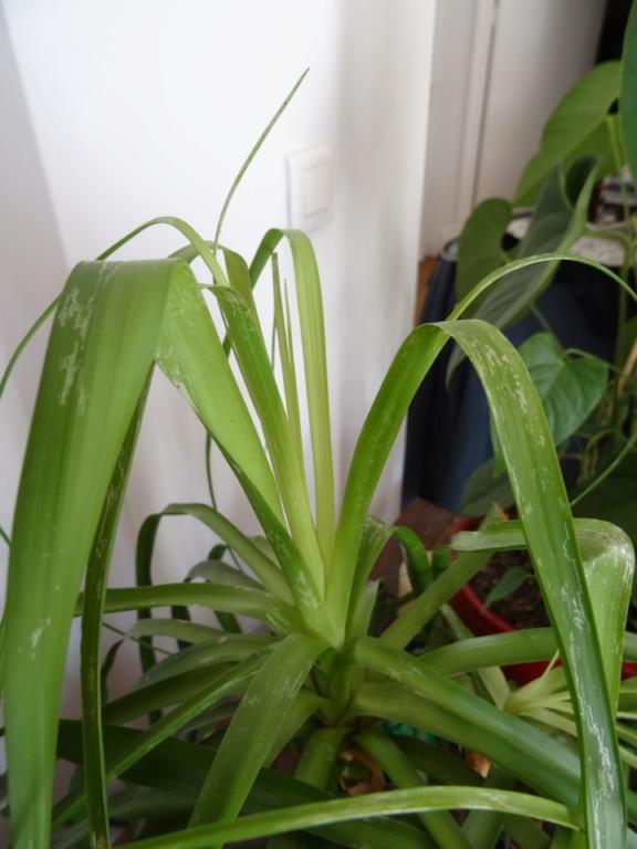 Trois plantes malades (la même? ) Plante16