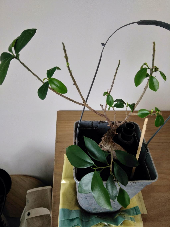 Ficus Ginseng mal en point Ficus10