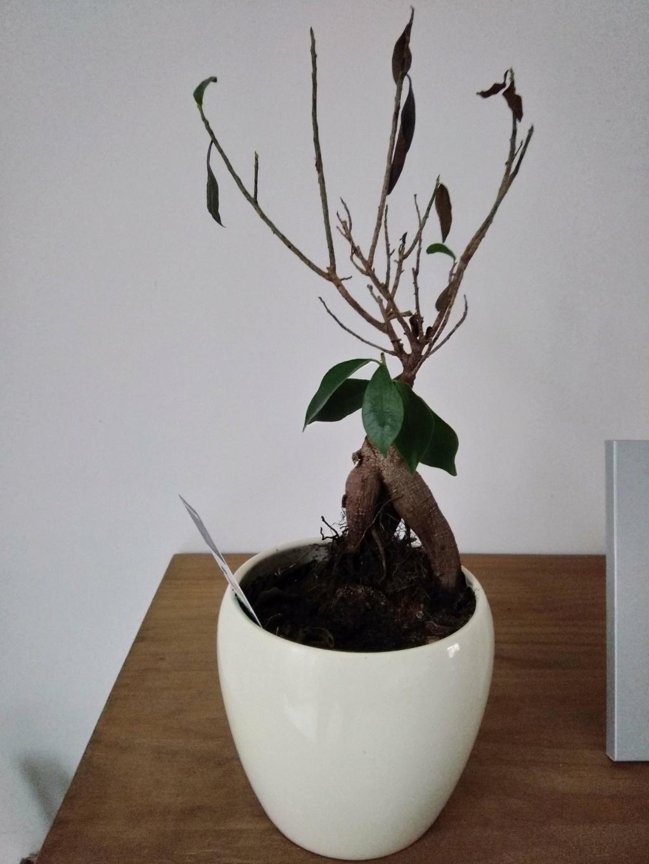 Ficus Ginseng mal en point Img_2016