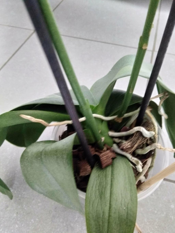 Orchidées mal en point Img_2017