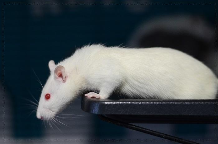 8 rates de laboratoire cherchent leurs familles  Albi_310