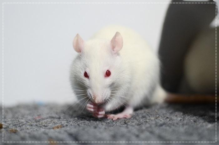8 rates de laboratoire cherchent leurs familles  Albi_710