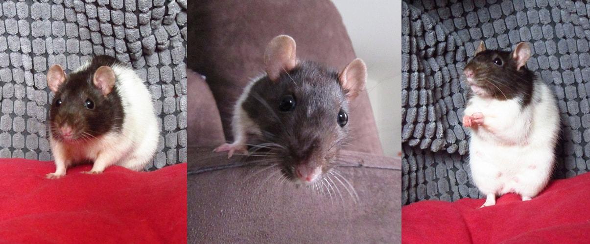 Recherche 2 rat femelle  Smila-10
