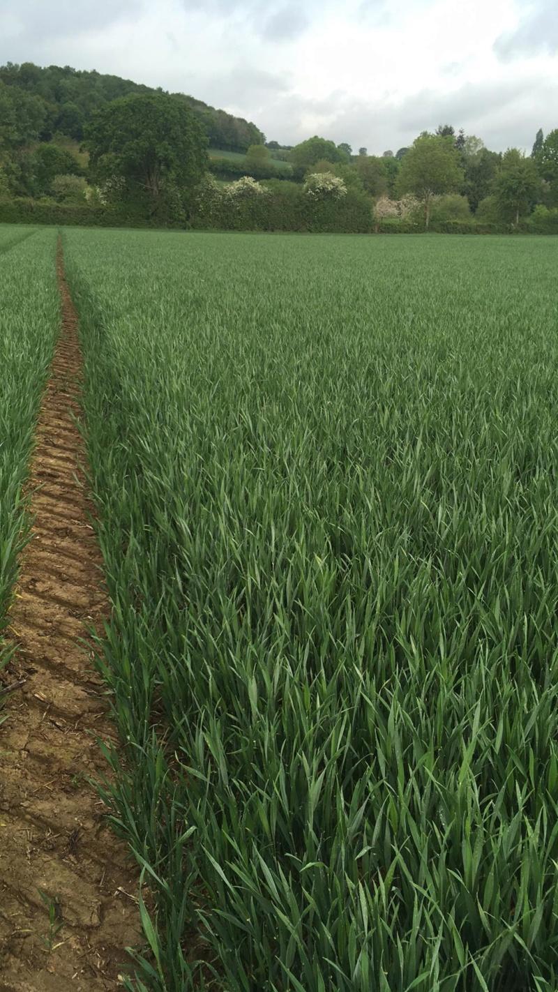 Suivi des blés 2020 - Page 5 94689010