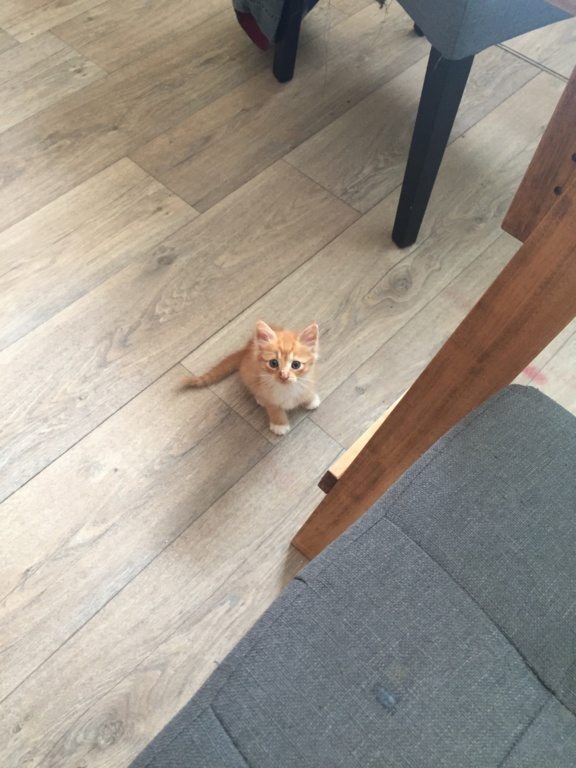 Ohio, chaton mâle roux tigré, né le 1/07/2018 Img_3712
