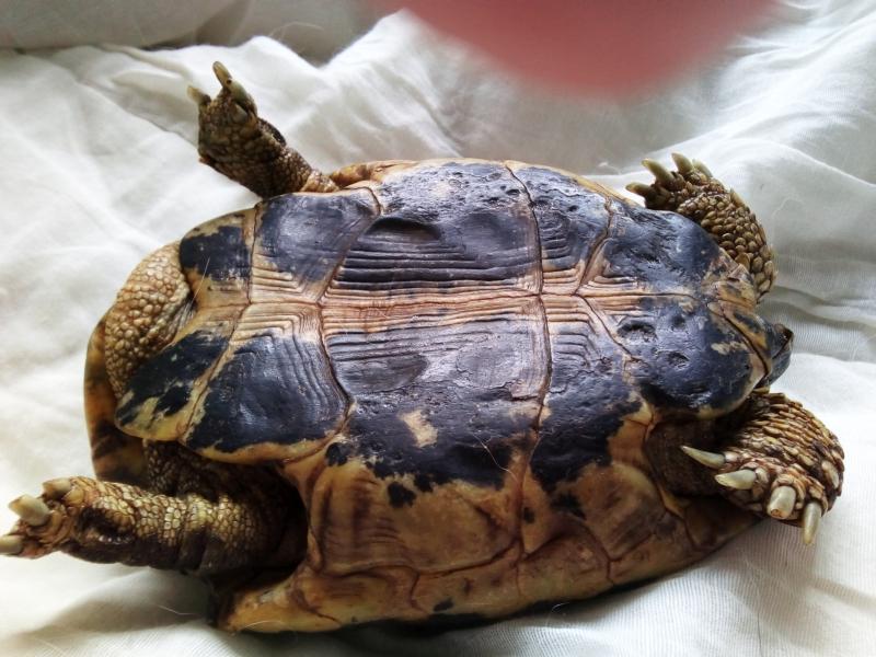 identification tortue trouvée Plastr11