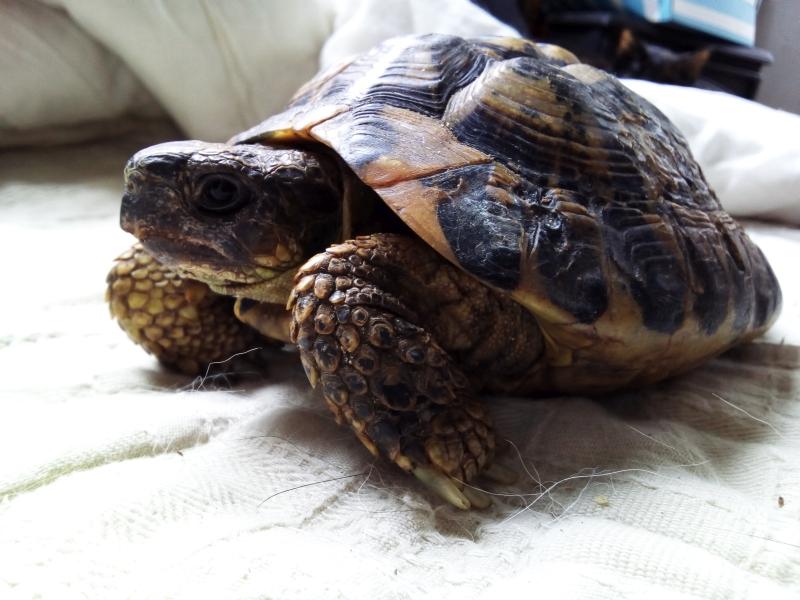 identification tortue trouvée Tetes10