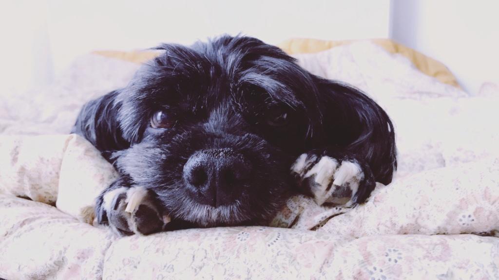 INDY, petite chienne parfaite, née en 2008 ADOPTÉE 20180943