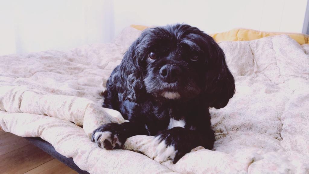 INDY, petite chienne parfaite, née en 2008 ADOPTÉE 20180944