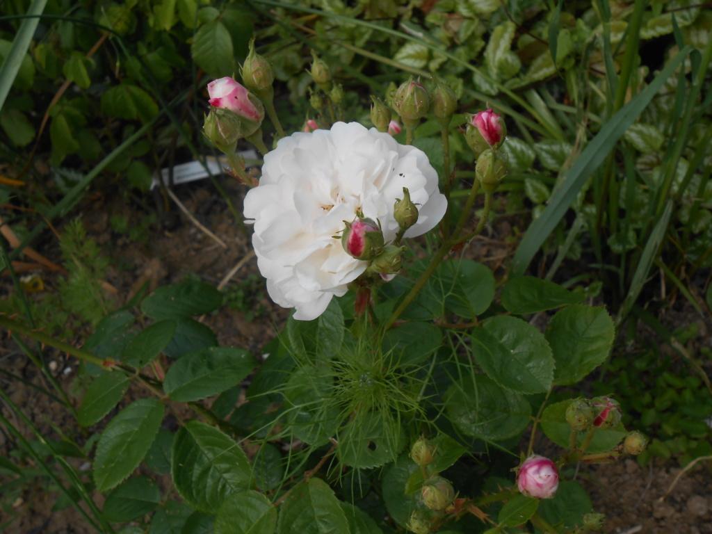 BOUQUET BLANC   (arbuste)  Robert   1856 Dscn5320