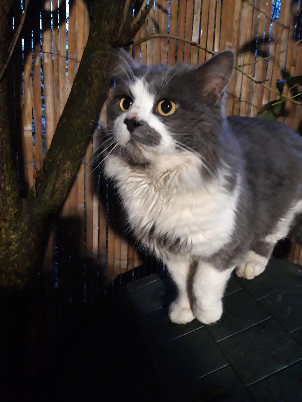Trouvé chat gris et blanc à Colomiers Poloch10