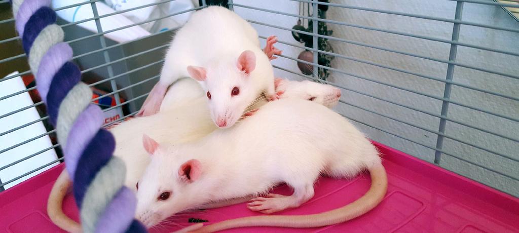 [A ADOPTER] 8 rats mâles réhabilités de laboratoire 15285510