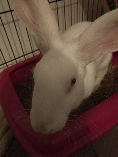 [A PARRAINER] Sia, lapine réhabilitée de laboratoire 15477410