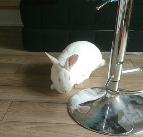 [White Rabbit]Lapins réhabilités de laboratoire à parrainer  15600810