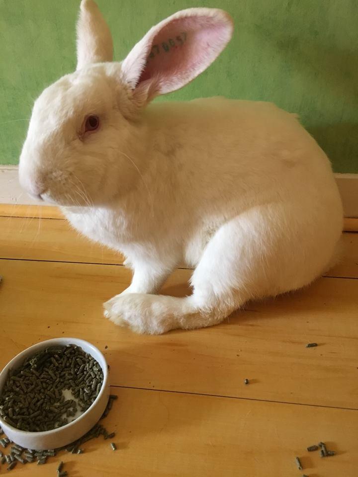 [ADOPTE] Oreo, lapin réhabilité de laboratoire 37318810