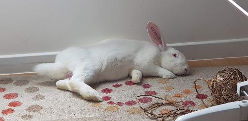 [A PARRAINER] Kamo, lapin réhabilité de laboratoire 43160610