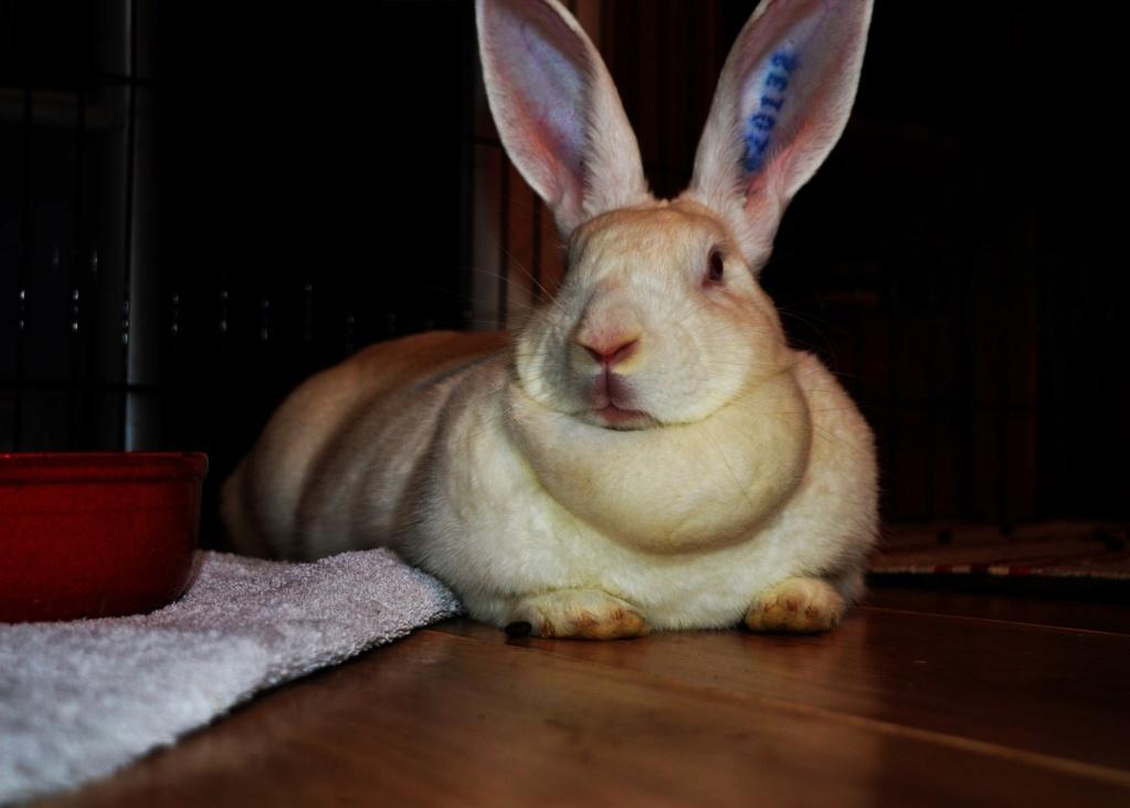 [White Rabbit]Lapins réhabilités de laboratoire à parrainer  62268610