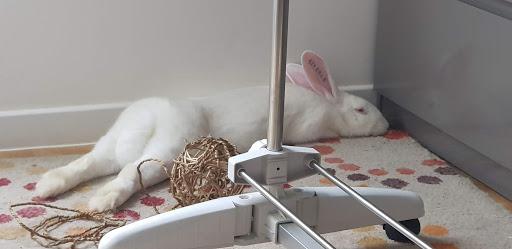[A PARRAINER] Kamo, lapin réhabilité de laboratoire 86584910