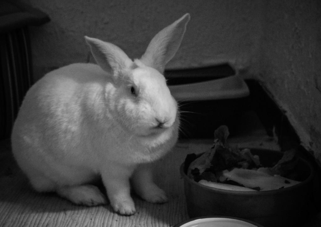 [ADOPTE] Pogba, lapin réhabilité de laboratoire Dsc_0010