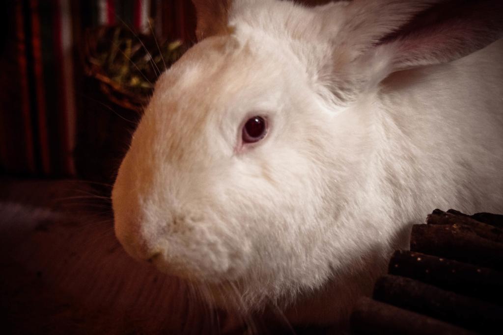 [ADOPTE] Pogba, lapin réhabilité de laboratoire Dsc_0110