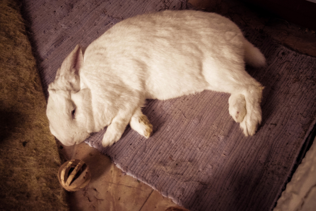 [ADOPTE] Pogba, lapin réhabilité de laboratoire Dsc_0111