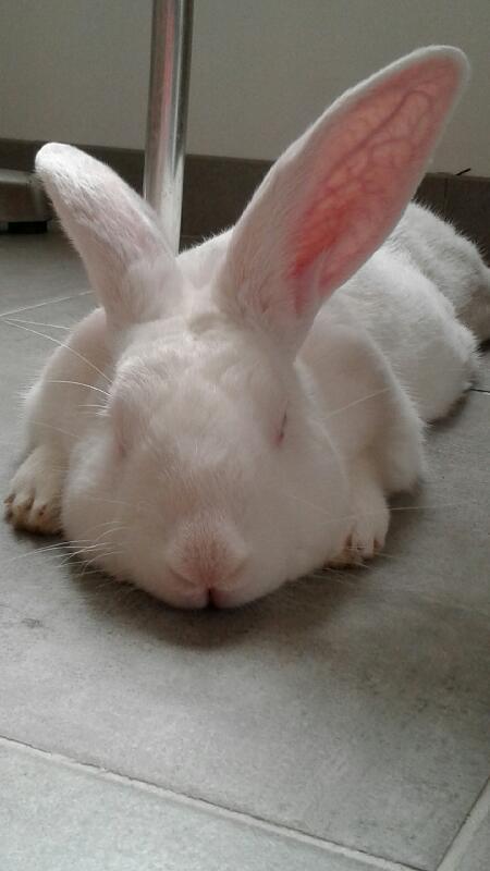 [A PARRAINER] Pollux, lapin réhabilité de laboratoire Image10