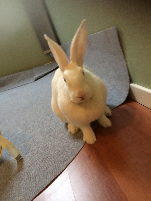 [A PARRAINER] Topaze, lapine réhabilitée de laboratoire Img_1310