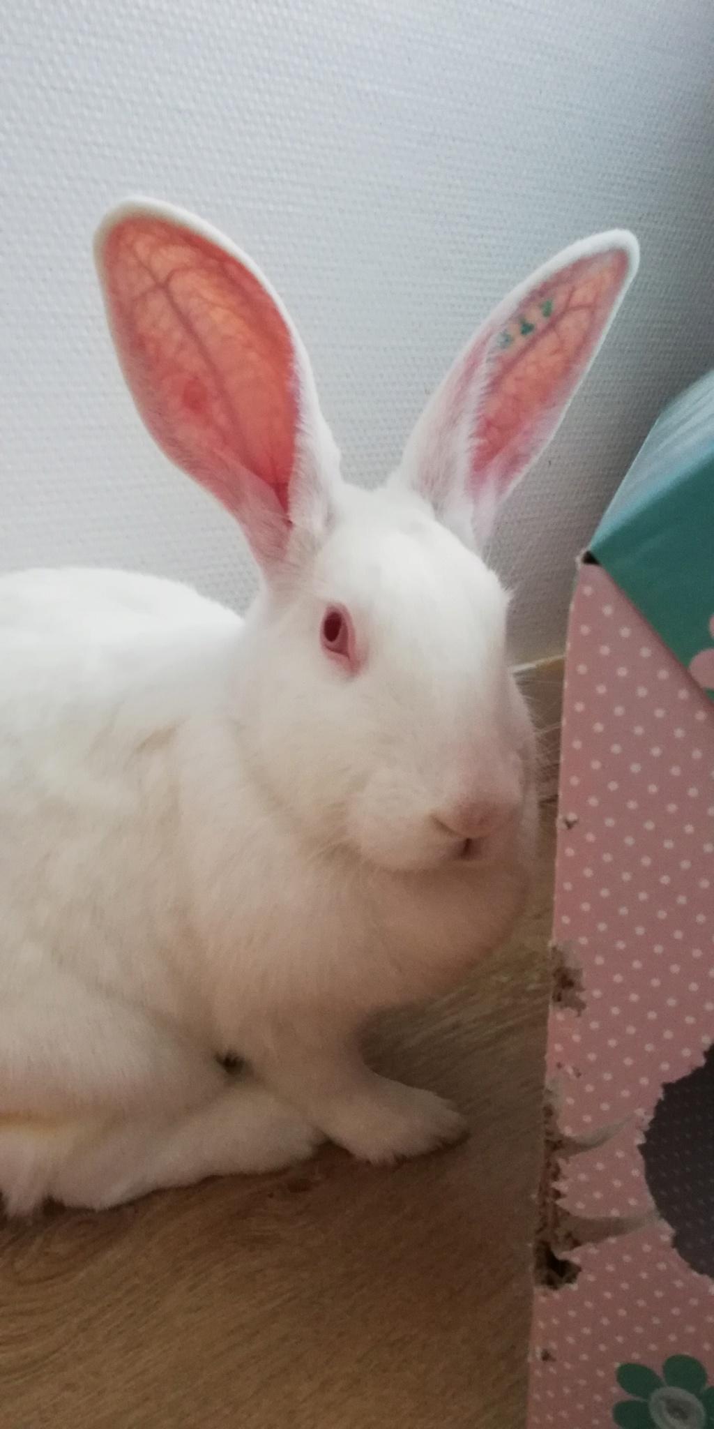 [A PARRAINER] Orphée, lapine réhabilitée de laboratoire Img_2013