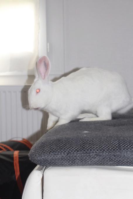 [ADOPTE] Dexter, lapin réhabilité de laboratoire Img_3812