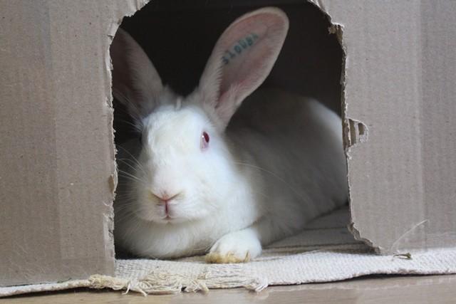 [ADOPTEE] Olympe, lapine réhabilitée de laboratoire Img_3814