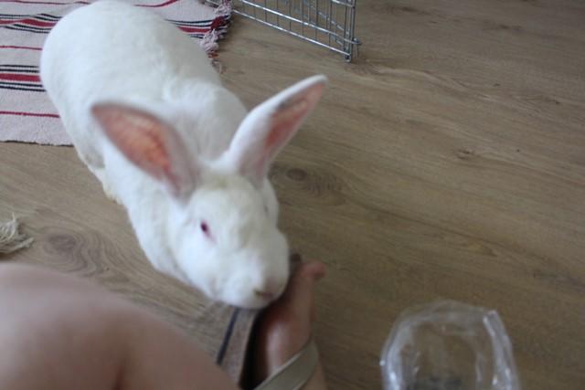 [ADOPTEE] Olympe, lapine réhabilitée de laboratoire Img_3910