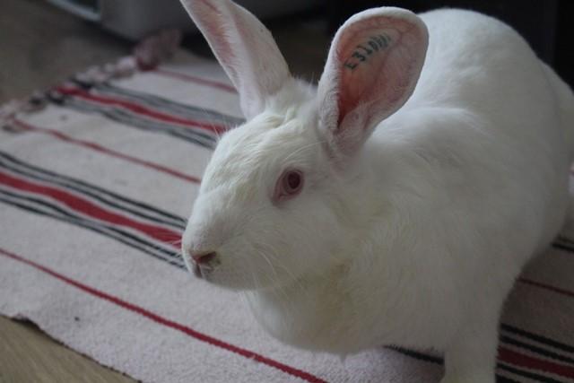 [ADOPTEE] Olympe, lapine réhabilitée de laboratoire Img_3911