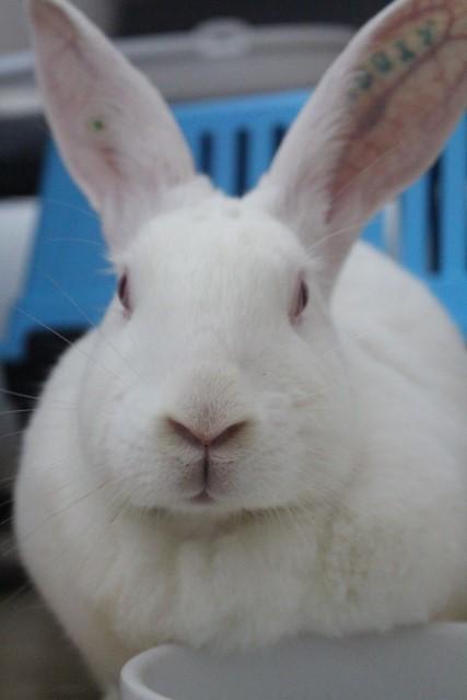 [A PARRAINER] Orphée, lapine réhabilitée de laboratoire Img_4010